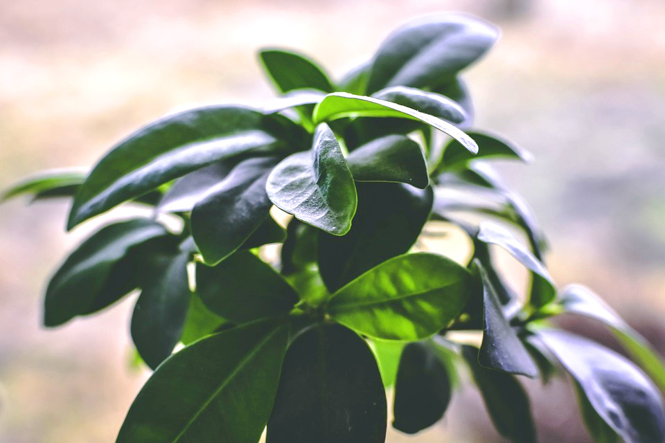 Ficus Best Plants for Office